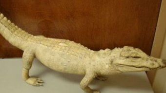 U.S. Customs and Border coverage farming experts seized this filled crocodile from a guy's bag in Atlanta as he re-entered the country after a-trip to Nigeria.